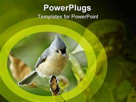 Tufted titmouse (Baeolophus bicolor) perched on a tree branch powerpoint template
