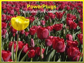 Single yellow tulip in sea of red template for powerpoint