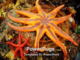 North pacific starfish found in tide pools along Alaskan peninsula template for powerpoint
