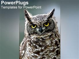 Owl looks sternly at the camera powerpoint theme