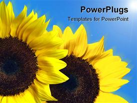 PowerPoint template displaying two large yellow sun flowers on a blue background