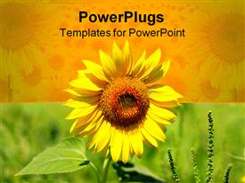 PowerPoint template displaying beautiful yellow sun flower on yellow and green background