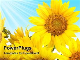 Sunflowers isolated. tall plant with a large yellow-petal flower that produces edible seeds presentation background