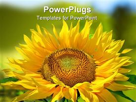 PowerPoint template displaying close up of yellow sunflower with green background