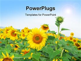 PowerPoint template displaying beautiful field of sunflower with sunshine over field
