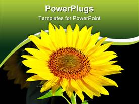 PowerPoint template displaying large sun flower with a green and black background