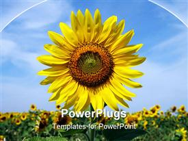 PowerPoint template displaying a sunflower with a number of sunflowers in the background