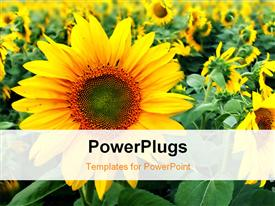 Field with sunflowers powerpoint theme