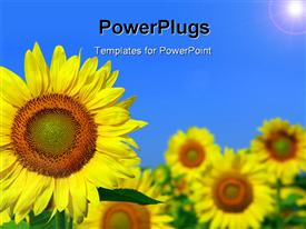 PowerPoint template displaying sunflower field with one sunflower in foreground and blue sky