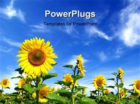 PowerPoint template displaying field of beautiful sunflower with blue cloudy sky overhead