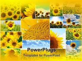 PowerPoint template displaying collage of sunflowers in various sizes some close up, others with blue sky background