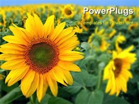 PowerPoint template displaying a number of sunflowers with a crop in the background