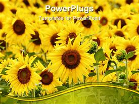 PowerPoint template displaying lots of beautiful sun flowers with grass of a field