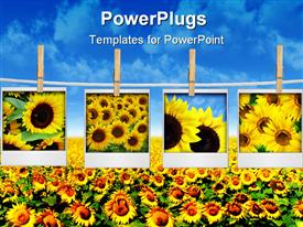 PowerPoint template displaying four depictions of sunflowers hanged on clothesline attached with clothespins over sunflower field with blue sky background