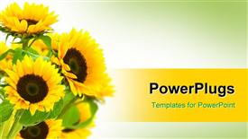 PowerPoint template displaying bouquet of yellow sunflowers with green leaves on gradient white and green background with yellow band