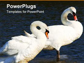 Male and female pair of swans, standing in water and curving their necks template for powerpoint