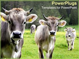 PowerPoint template displaying three cows stand together calmly in the background.