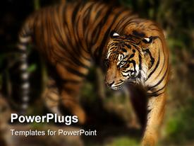 PowerPoint template displaying blurry view of tiger walking in its natural habitat