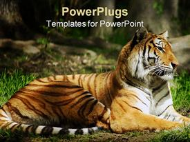 PowerPoint template displaying laying Siberian Tiger on the ground with green grass in jungle setting blurred background