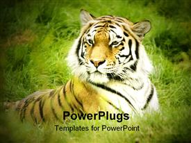 PowerPoint template displaying close up of tiger head and body laying in the green grass having focused view