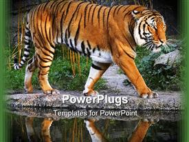 PowerPoint template displaying prowling tiger with a wonderful reflection in the background.