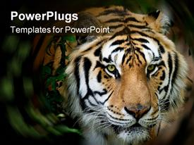 PowerPoint template displaying siberian tiger taken at big cat rescue in the background.