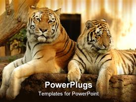 Two tigers are resting in the shade presentation background