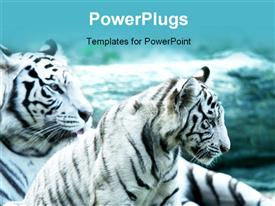 PowerPoint template displaying two White tigers shot close up in the background.