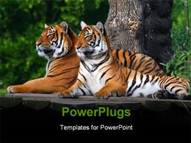 PowerPoint template displaying two adult tigers resting on a wooden pavement. depiction taken at the Prague Zoo in the background.