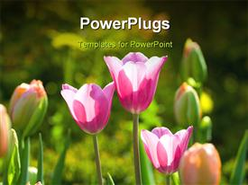 Tulips tenderness and beauty of blossom it powerpoint theme