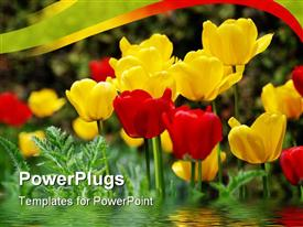Beautiful yellow and red tulips: summer time concept powerpoint template