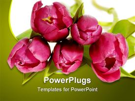 PowerPoint template displaying bouquet of pink tulips on clean white background