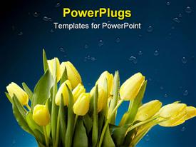 PowerPoint template displaying close up shot of yellow tulips with water droplets on blue background-space for copy