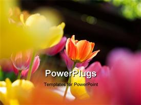 PowerPoint template displaying close-up of colorful tulips over faded background