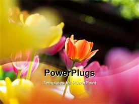 Colorful tulips in bright sunlight with shallow focus powerpoint design layout