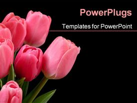PowerPoint template displaying bunch of pink colored tulips on a black background