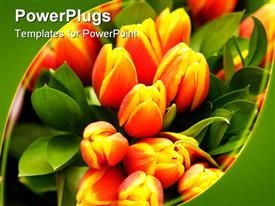 PowerPoint template displaying close up of orange and yellow tulips with green leaves