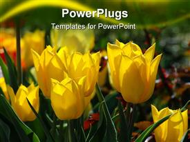 Sunny yellow tulips powerpoint theme