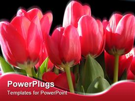 PowerPoint template displaying a number of tulips with blackish background