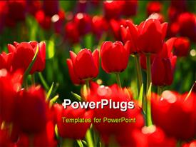 PowerPoint template displaying field of tulip focal point near middle on tulips