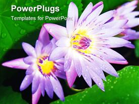 PowerPoint template displaying two water lilies together with green background