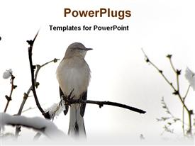 PowerPoint template displaying western king bird in a tree