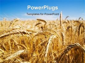 PowerPoint template displaying focus on wheat ears in wheat field with sky in the background