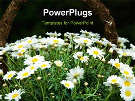 PowerPoint template displaying white daisies on a green field white daisies on a green field in the background.