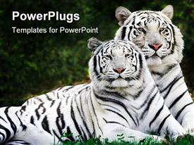 PowerPoint template displaying tiger and tigress lying together on the grass in the background.