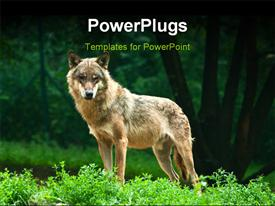 One wolf standing on green hillock and look at photograph powerpoint theme