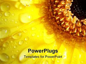 Beautiful macro yellow Gerbera, with lots of water drops on the petals. water drops on powerpoint design layout