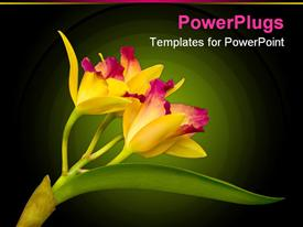 PowerPoint template displaying yellow cattleya orchid from Hawaii in the background.