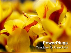 Close up picture of yellow tulips stock photo powerpoint theme